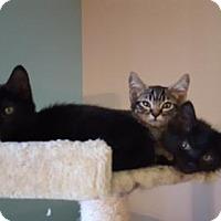 Domestic Shorthair Kitten for adoption in Denver, Colorado - Simon