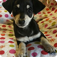 Dachshund/Chihuahua Mix Puppy for adoption in Los Angeles, California - Frida