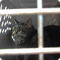 Domestic Mediumhair Cat for adoption in Chicago Ridge, Illinois - ROUGE