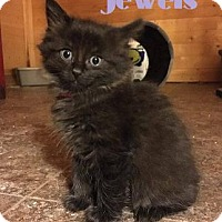 Adopt A Pet :: Jewels - Sweet Girl! - Huntsville, ON