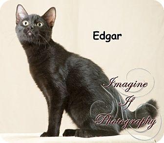 Domestic Shorthair Cat for adoption in Oklahoma City, Oklahoma - Edgar