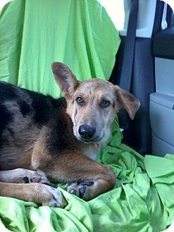 German Shepherd Dog/Australian Shepherd Mix Dog for adoption in Gainesville, Florida - Joey