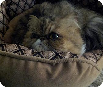 Persian Cat for adoption in Columbus, Ohio - Dior