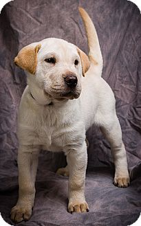 Golden Retriever/Shar Pei Mix Puppy for adoption in Anna, Illinois - HOLLY