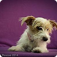 Adopt A Pet :: Trinka - Broomfield, CO
