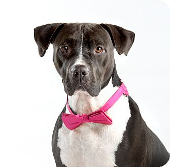 Pit Bull Terrier Mix Dog for adoption in Dallas, Texas - Suki