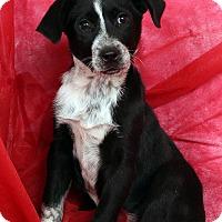 Adopt A Pet :: Teddy BorderAussie - St. Louis, MO