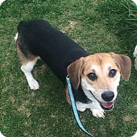 Adopt A Pet :: Oreo - Oak Ridge, NJ