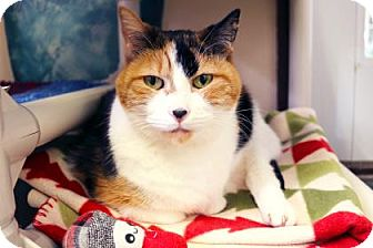 Domestic Shorthair Cat for adoption in Bellevue, Washington - Chloe