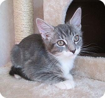 Domestic Shorthair Cat for adoption in San Bernardino, California - Rabbit