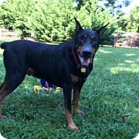 Adopt A Pet :: BRYCE - Greensboro, NC