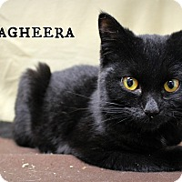 Domestic Shorthair Cat for adoption in Melbourne, Kentucky - Bagheera