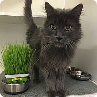Domestic Mediumhair Cat for adoption in Novato, California - Big Love