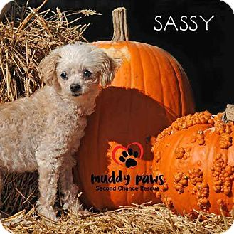 Poodle (Toy or Tea Cup) Dog for adoption in Council Bluffs, Iowa - Sassy