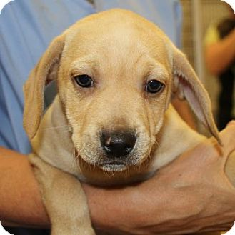 Hound (Unknown Type) Mix Puppy for adoption in Woodstock, Illinois - Skyy