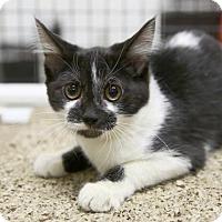 Adopt A Pet :: Boa - Kettering, OH