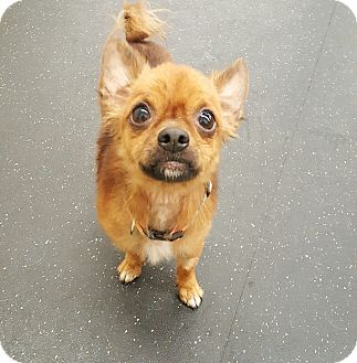 Pomeranian/Chihuahua Mix Dog for adoption in House Springs, Missouri - Manni 5 lbs.