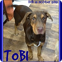 Doberman Pinscher Mix Dog for adoption in White River Junction, Vermont - TOBI