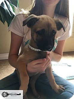 Black Mouth Cur/Shepherd (Unknown Type) Mix Puppy for adoption in DeForest, Wisconsin - Delyah