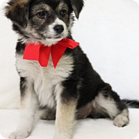 Australian Shepherd/Terrier (Unknown Type, Medium) Mix Puppy for adoption in Dalton, Georgia - Marcia