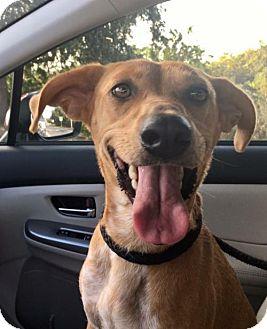 Redbone Coonhound Mix Dog for adoption in Orlando, Florida - Molly