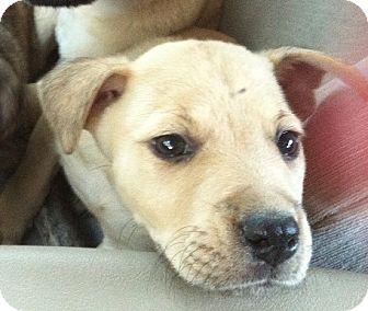 Shepherd (Unknown Type)/Labrador Retriever Mix Puppy for adoption in Gainesville, Florida - Aspen