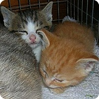 Adopt A Pet :: White Nosed Tabby/White - Yakima, WA