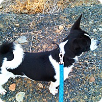 Adopt A Pet :: Lilia - Kirkland, WA