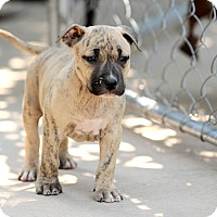 Adopt A Pet :: Tebow - Mission Viejo, CA