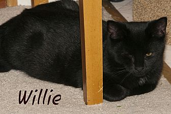 American Shorthair Cat for adoption in Waynesville, North Carolina - Willie