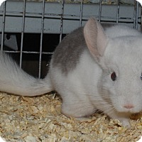 Adopt A Pet :: 4 mo beige mosaic m chinchilla - Hammond, IN