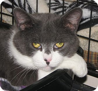 Domestic Shorthair Cat for adoption in New Windsor, New York - Balboa