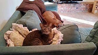 Domestic Shorthair Cat for adoption in Houston, Texas - Hugo