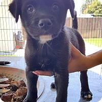 Adopt A Pet :: JASMIN - Winnetka, CA
