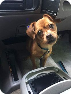 Chihuahua/Pug Mix Dog for adoption in Roanoke, Virginia - Carlos