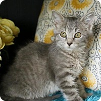 Adopt A Pet :: Kylie $85 Female Kitten - knoxville, TN