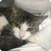 Domestic Shorthair Cat for adoption in Voorhees, New Jersey - Celia
