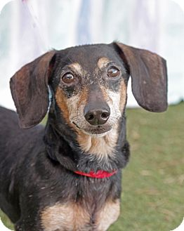 Dachshund Dog for adoption in Umatilla, Florida - Mickey