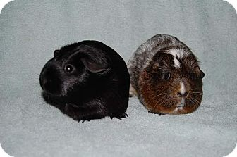 Guinea Pig for adoption in Hazel Park, Michigan - Raven & Simone