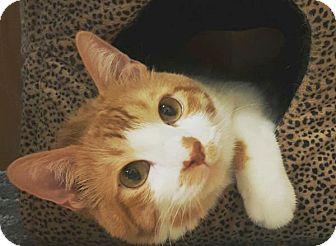 Domestic Shorthair Cat for adoption in Colorado Springs, Colorado - Karmel