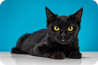Domestic Shorthair Kitten for adoption in Chandler, Arizona - Stormy