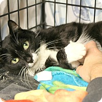 Domestic Shorthair Cat for adoption in Warwick, Rhode Island - Mittens