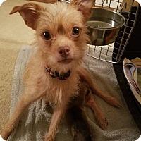 Adopt A Pet :: Napa Rose - Houston, TX