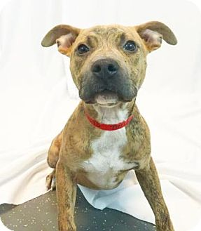 Pit Bull Terrier Mix Dog for adoption in New Orleans, Louisiana - Paris