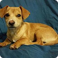 Adopt A Pet :: Cornbread - Manchester, NH
