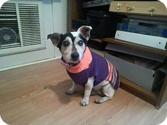 Rat Terrier/Jack Russell Terrier Mix Dog for adoption in Gulfport, Mississippi - Maggie