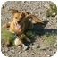 Photo 1 - Golden Retriever/Shepherd (Unknown Type) Mix Dog for adoption in Thatcher, Arizona - Shasta retriever mix