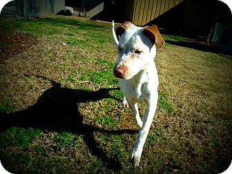 Pointer Mix Dog for adoption in Gadsden, Alabama - Pinta