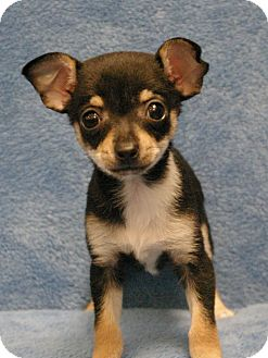 Chihuahua Mix Puppy for adoption in Sacramento, California - Fiona