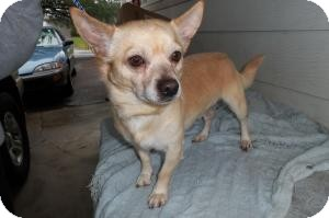 Chihuahua Mix Dog for adoption in Sherman, Connecticut - Taco